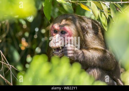 Stump-tailed macaque, (Macaca arctoides) - Stock Photo