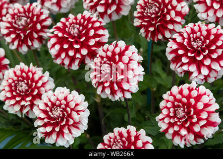 Dahlia 'Checkers' flowers. Miniature decorative dahlias on display at a flower show. UK - Stock Photo