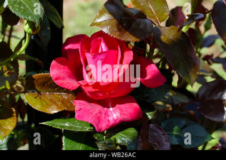 Rose Blüte - Stock Photo