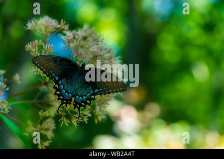 A Spicebush Swallowtail rests on one of the many plants at the Huntsville Botanical Gardens. - Stock Photo
