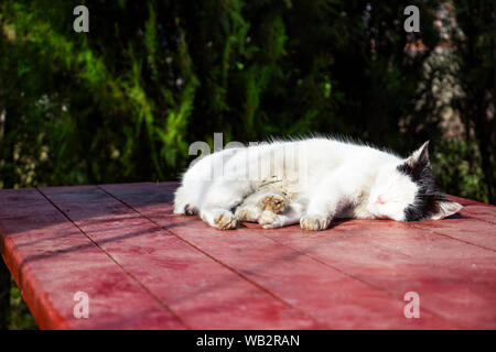 Injured black and white stray cat resting in the winter sun on an exterior restaurant table in Dimitrovgrad, Bulgaria - Stock Photo