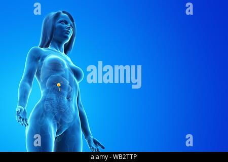Gallbladder, computer illustration. - Stock Photo