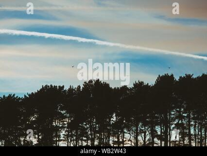 A beautiful shot of silhouettes of trees with birds flying over them with an airplane line in the middle - Stock Photo