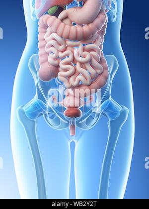 Location of abdominal pain! | Health/Exercises/nutrition ... |Female Stomach Organs