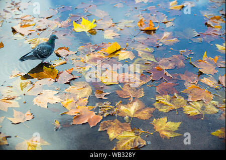 A pigeon walks across a background of fallen autumn leaves floating in a shallow puddle of rain water - Stock Photo