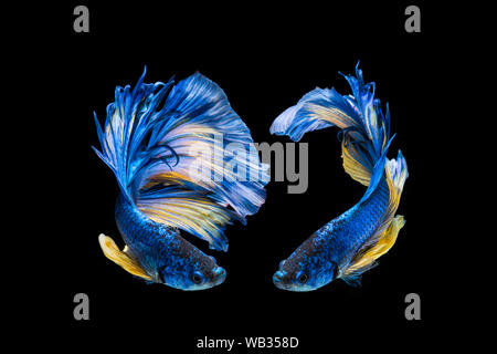 Blue and yellow betta fish, siamese fighting fish on black background - Stock Photo