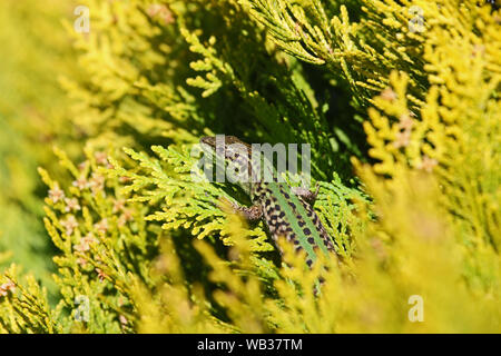 Italian wall lizard Latin podarcis sicula not muralis at rest on a thuja or thuya tree also called tree of life in Italy - Stock Photo