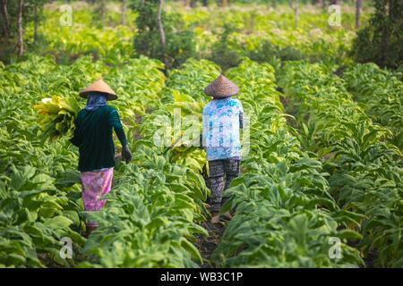 People working on tobacco farm on Lombok island, Indonesia. - Stock Photo