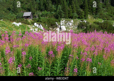 Wild flowers Chamaenerion angustifolium from Velebit mountain - Stock Photo