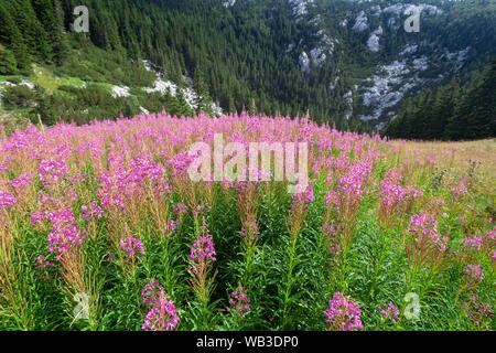 Wild flowers Chamaenerion angustifolium from Velebit mountain - Stock Photo