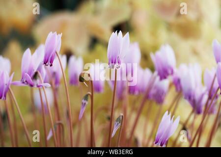 Cyclamen hederifolium var. confusum flowers. - Stock Photo