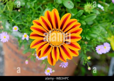 Gazania regens flower close up top view of orange and red striped stripe petals growing in garden in Carmarthenshire Wales UK  KATHY DEWITT - Stock Photo