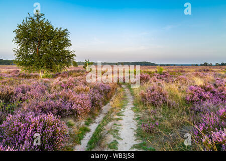Purple pink heather in bloom Ginkel Heath Ede in the Netherlands. Famous as dropping zone for the soldiers during WOII operation Market Garden Arnhem. - Stock Photo