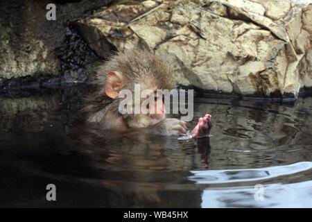 Hot bath for snow monkeys in Jigokudani Monkey Park in Nagano Japan - Stock Photo