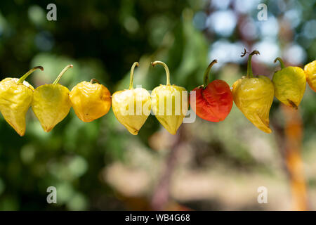 Round peppers hanging to dry in sunshine outside. - Stock Photo