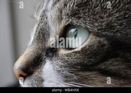 Cat's face close up as she stares intently at something - Stock Photo