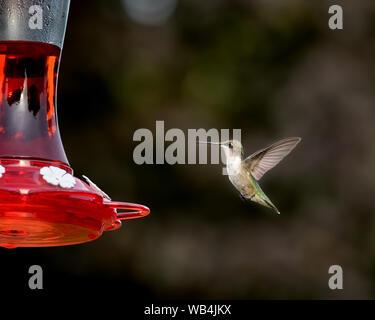 Ruby-throated hummingbird flying, hovering, and eating at backyard hummingbird feeder - Stock Photo
