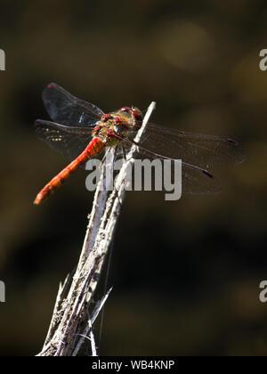 A ruddy darter dragonfly sitting on a stick.