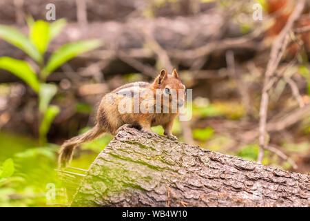 golden-mantled ground squirrel (Callospermophilus lateralis), Banff National Park, Alberta, Canada. - Stock Photo