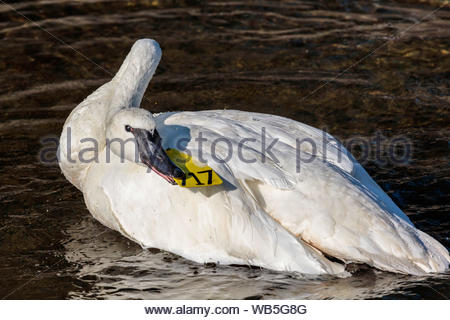 Trumpeter Swan Cygnus buccinator pulling on tag in Rouge River in Rouge National Urban Park in Toronto Ontario Canada - Stock Photo