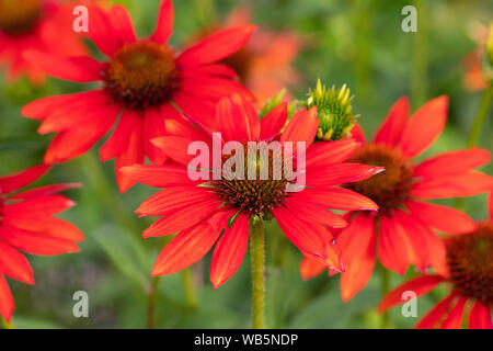 Echinacea Sombrero Adobe Orange - coneflower - closeup of flowers in garden border - Stock Photo