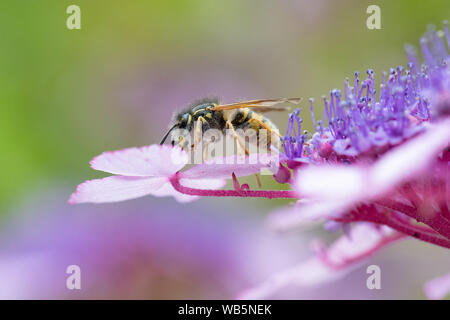 Common wasp (Vespula vulgaris) covered in pollen pollinating flowers - on Hydrangea aspera shrub - uk - Stock Photo