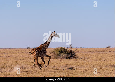 A galloping Giraffe - Giraffa Camelopardalis- on the plains of Etosha National Park, Namibia. - Stock Photo
