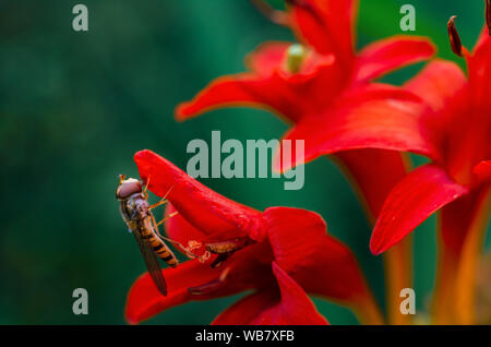 Close-up of marmalade hoverfly (female, Syrphidae - episyrphus balteatus) on the red flower of the Montbretia (Crocosmia lucifer) - Stock Photo