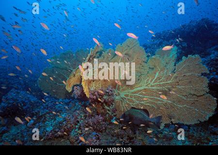 Sea goldies or Lyretail anthias (Pseudanthias squamipinnis) cruising at a Hickson's Fan Coral (Annella mollis), Negros, Visayas, Philippines - Stock Photo
