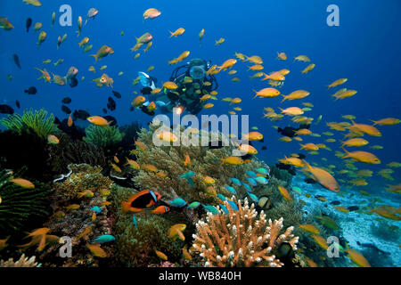 Scuba diver and Sea goldies or Lyretail anthias (Pseudanthias squamipinnis) in a coral reef, Bohol, Visayas, Philippines - Stock Photo