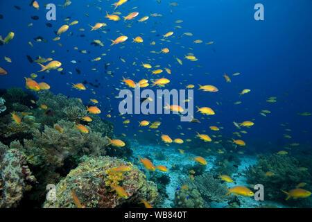 Sea goldies or Lyretail anthias (Pseudanthias squamipinnis) cruising over a coral reef, Bohol, Visayas, Philippines - Stock Photo