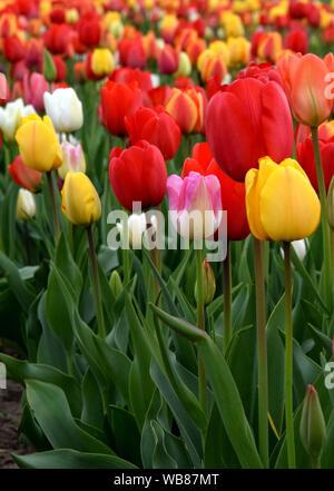 Tulips blooming in garden - Stock Photo