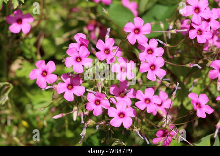 Densely planted Good luck plant or Oxalis tetraphylla or Iron cross flower or Iron cross oxalis or Red flower or Foliage plant bulbous perennial plant - Stock Photo