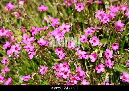 Good luck plant or Oxalis tetraphylla or Iron cross flower or Iron cross oxalis or Red flower or Foliage plant bulbous perennial plant background wall - Stock Photo