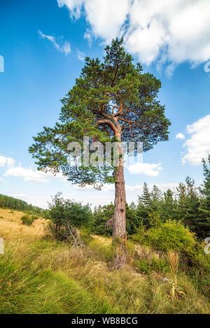 Pinus nigra, the Austrian or Black pine tree - Stock Photo