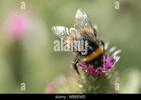 Closeup bumblebee macro photography shot - Stock Photo