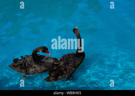 Couple of black swans in pond. Two birds with red beaks swim in blue water of lake. Love symbol or romantic relations - Stock Photo
