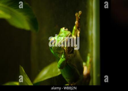 Javan tree frog, flying frog, wallace frog - Stock Photo