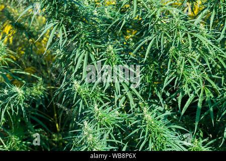 Cannabis, common hemp leaves and flowers closeup - Stock Photo