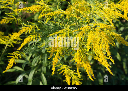 Solidago canadensis Canada goldenrod yellow flowers closeup - Stock Photo