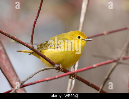 Closeup of  Yellow Warbler (Setophaga petechia) perching on branch  during spring migration,Ontario,Canada - Stock Photo