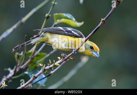 Closeup of colorful bird, Flame-colored Tanager ( Piranga bidentata) perching in leafy shrub in highlands near Boquete,Chiriqui Province ,Panama - Stock Photo