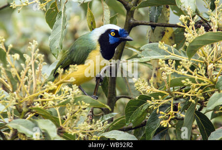 Closeup of colorful bird Inca Jay ( Cyanocorax yncas) perching in flowering tree in  Baeza,NE,Ecuador - Stock Photo