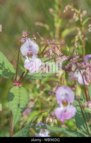 Flowers and upper leaves of the troublesome Himalayan Balsam / Impatiens glandulifera - which likes damp soils / ground, riversides, river banks. - Stock Photo