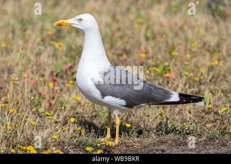 yellow-legged European herring gull (Larus argentatus) - Stock Photo