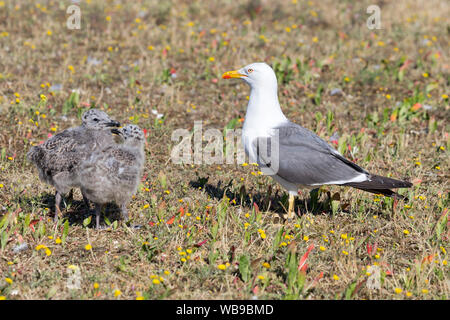yellow-legged European herring gull (Larus argentatus) with chicks - Stock Photo