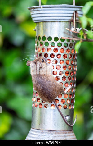 house mouse (Mus musculus)  eating peanuts from a bird feeder in Lytham, Lancashire, England, UK - Stock Photo