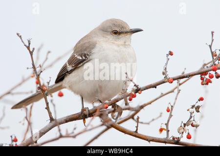 Northern Mockingbird (Mimus polyglottos) on branch at Jones State Park, New York, USA - Stock Photo