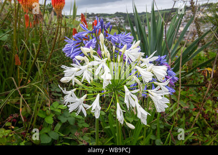 Two heads of agapanthus on Flowerbed