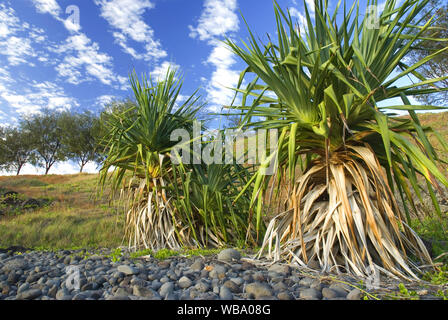 Thatch screwpine (Pandanus tectorius), occurs from mid New South Wales coast north through Indonesia and islands of the Pacific Ocean, growing on beac - Stock Photo